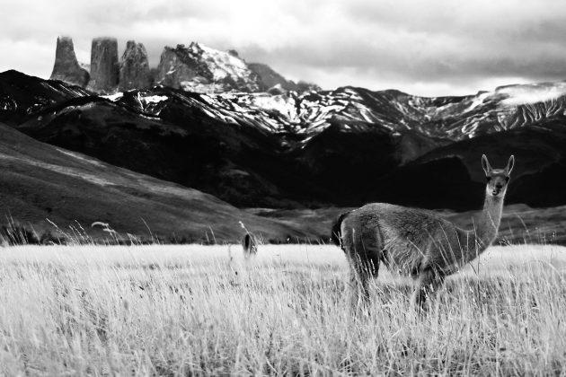 Lama Cuernos del Paine Patagonia Chile