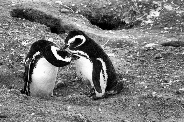 Pinguini Insula Magdalena Patagonia Chile,